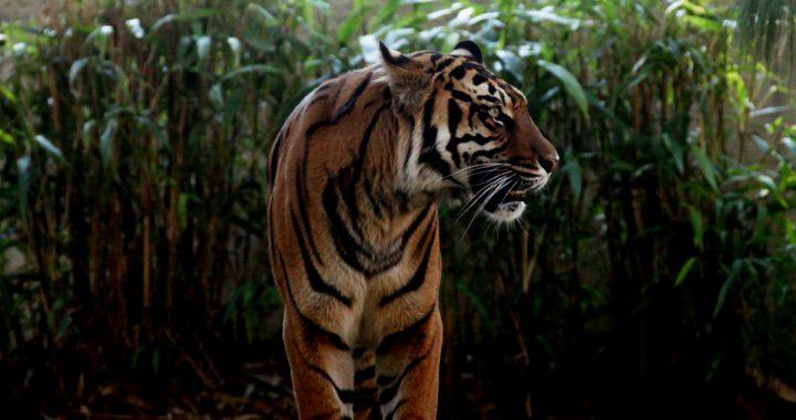 Global Tiger Day: Pendekatan Bentang Alam untuk Kehidupan Harimau Sumatera Perlu Dilakukan