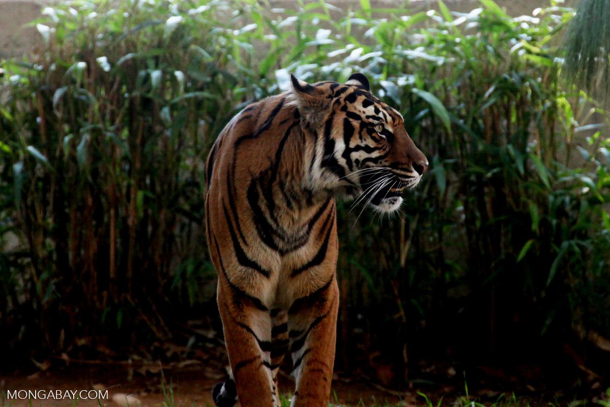 Harimau sumatera yang statusnya Kritis. Foto: Rhett Butler/Mongabay