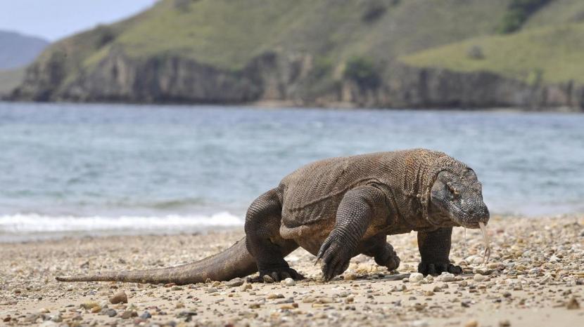 Seekor komodo berkeliaran di pantai Pulau Komodo, habitat alami kadal terbesar di dunia. Foto: thenationalnews.com