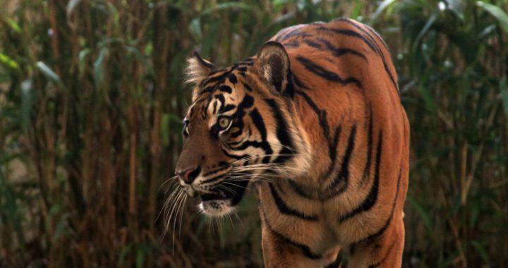 Ditargetkan Meningkat pada 2022, Populasi Harimau di Asia Tenggara Justru Menurun