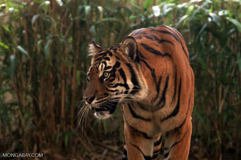 Harimau sumatera. Foto: Rhett A. Butler/Mongabay