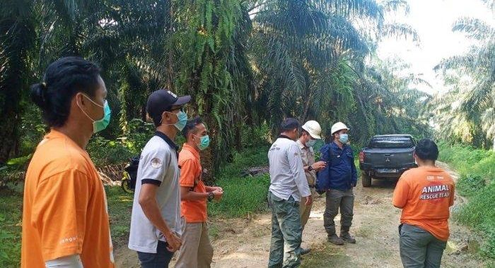 Orangutan Kalimantan Masuk ke Areal Perkebunan Sawit Talisayan Berau Belum Ditemukan