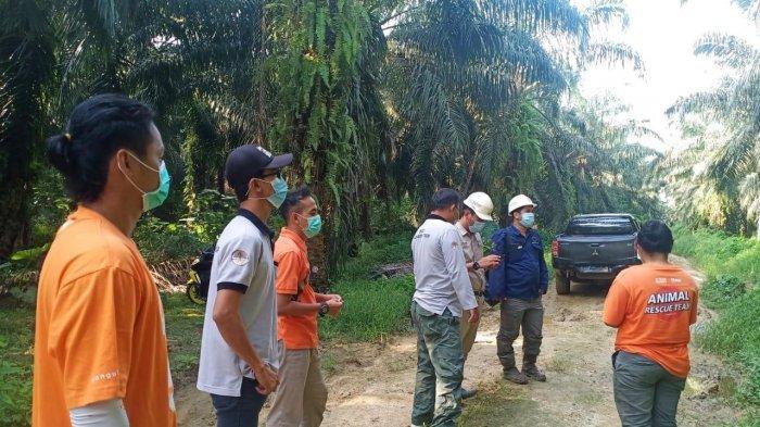 SATWA LIAR - Wildlife Rescue Unit (WRU) yang dari SKW I Berau, BKSDA Kaltim, bersama Centre for Orangutan Protection (COP) masih dalam proses pencarian orangutan.HO/BKSDA Kaltim