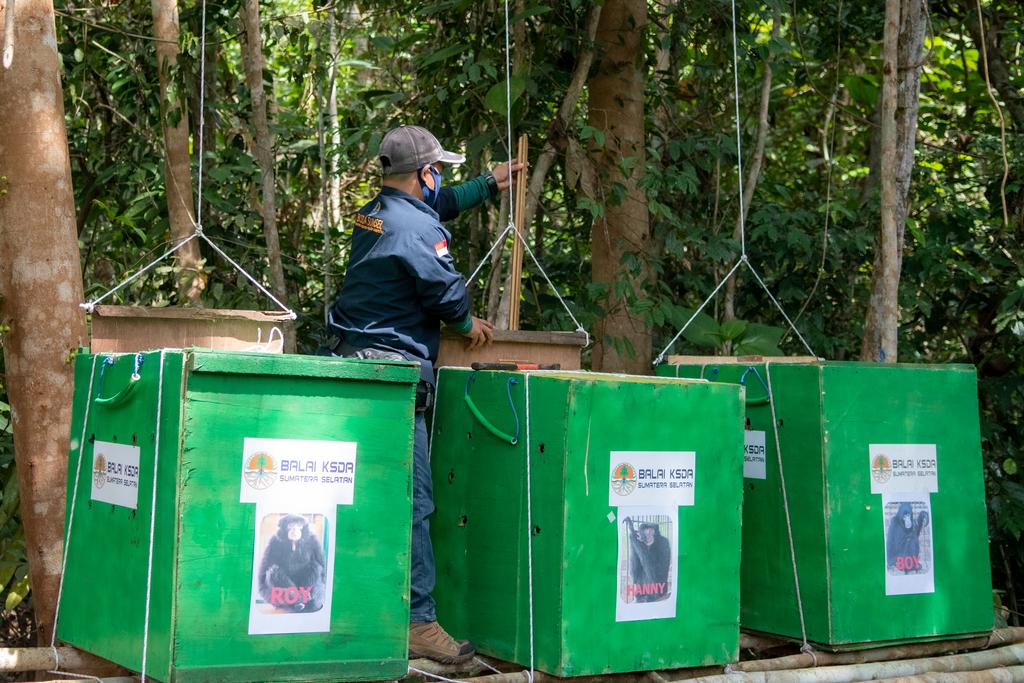 Foto: Pelepasliaran Siamang di Sumsel Peringati Hari Konservasi Alam Nasional Siamang yang dilepasliarkan sebanyak tiga ekor. Foto: Nova Wahyudi/ANTARA FOTO