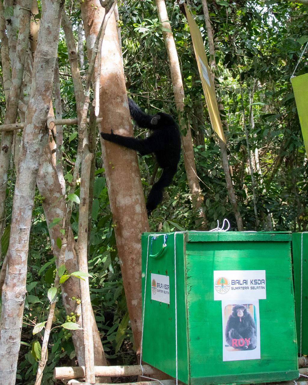 Foto: Pelepasliaran Siamang di Sumsel Peringati Hari Konservasi Alam Nasional Pelepasliaran tersebut dalam rangka memperingati Hari Konservasi Alam Nasional. Foto: Nova Wahyudi/ANTARA FOTO