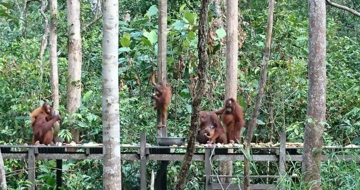 Video Orangutan di Tambang Batubara, CAN: Itu Teritorialnya