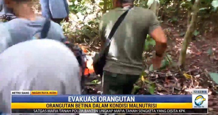 Sepasang Orang Utan Ditemukan Terisolasi di Perkebunan Warga di Aceh