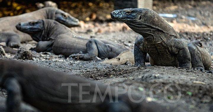 IUCN: Komodo Satu Langkah Lebih Dekat Menuju Kepunahan