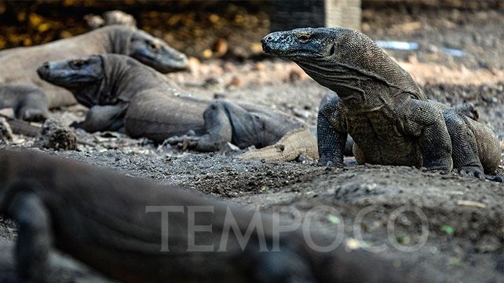 Sejumlah komodo berkumpul dalam kunjungan di Pulau Rinca, Kawasan Taman Nasional Komodo, Nusa Tenggara Timur, Ahad, 14 Oktober 2018. Pulau Rinca yang merupakan zona inti Taman Nasional Komodo, dihuni lebih dari 1.500 ekor komodo. TEMPO/Tony Hartawan