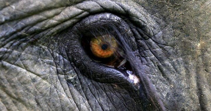 Pembunuh Gajah Sumatera Tanpa Kepala di Aceh Timur adalah Pemain Berpengalaman