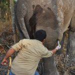 Cari dan Obati Gajah yang Kesakitan akibat Pembengkakan Kaki, Tim Medis BBKSDA Riau Tempuh Jalur Sulit di Hutan