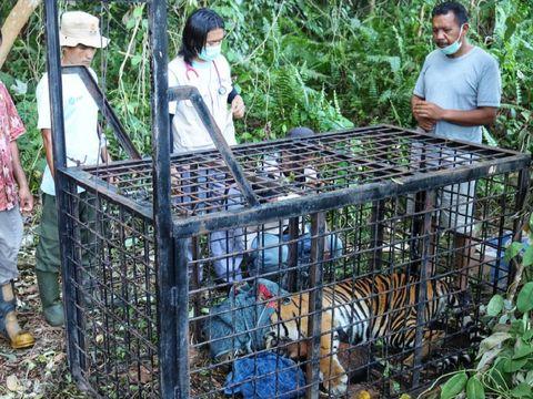 Foto: Harimau Sumatera yang terkam warga Siak masuk perangkap BKSDA Riau (dok. BKSDA Riau)