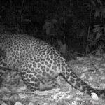 Terancam Punah, Macan Tutul Jawa Terekam di Hutan Gunung Sanggabuana