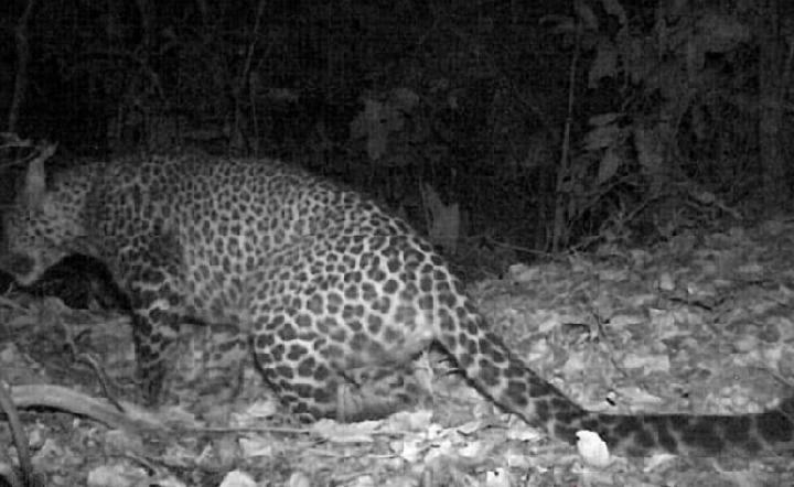 Macan tutul jawa terekam kamera jebak berkeliaran di hutan Gunung Sanggabuana, Karawang, Jawa Barat. Kredit: ANTARA/Dok. Dedi Mulyadi