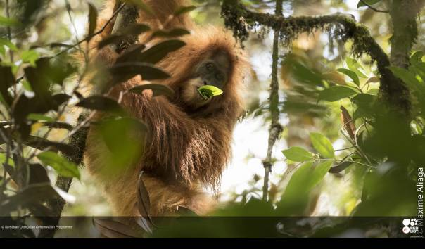 Orangutan Tapanuli atau Pongo tapanuliensis, adalah jenis orangutan ketiga yang diidentifikasi di Indonesia dan statusnya kritis terancam punah dengan populasi tersisa kurang dari 800 ekor di Sumatra. (Sumber: Maxime Ailaga/IUCN/Sumatran Orangutan Conservation Program)