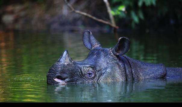 Badak Jawa (Rhinoceros sondaicus) yang bercula satu di Taman Nasional Ujung Kulon (Sumber: Stephen Belcher/KLHK)