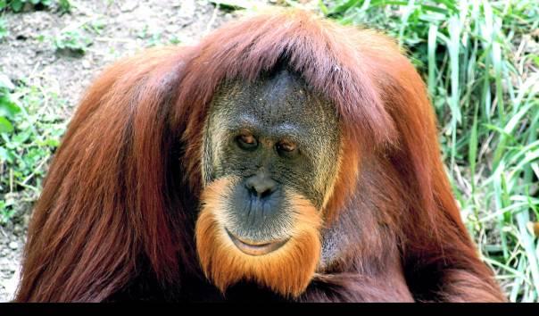 Orangutan Sumatera, Pongo abelii, yang berbeda spesies dari Orangutan Tapanuli. (Sumber: Kabir Bakie/Wiki Species)