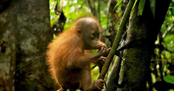 Orangutan Kalimantan dan Ancaman Nyata Kehidupannya