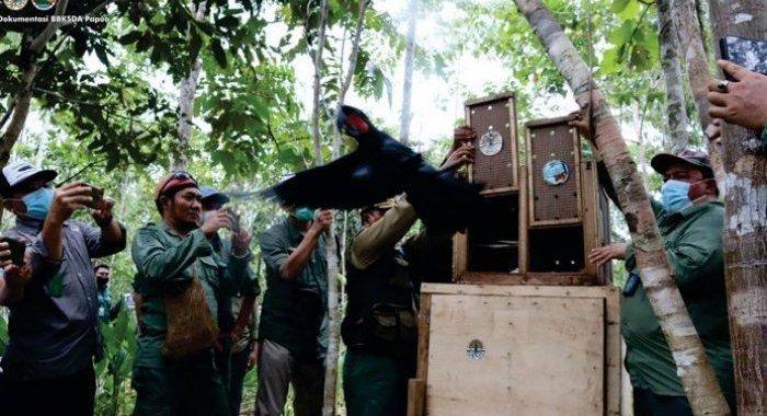 KLHK Lepas Liar 12 Satwa Endemik Papua di Hutan Adat Isyo