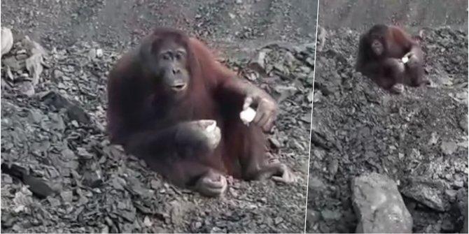Orangutan terjebak di lokasi tambang batubara di Kutai Timur. ©2021 Istimewa