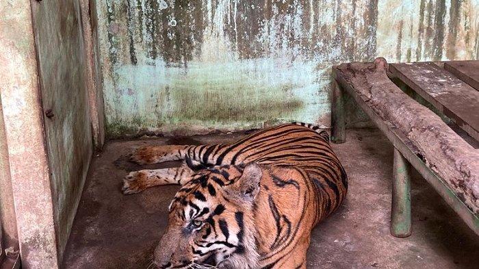Baringin, harimau Sumatera jantan, penghuni di Medan Zoo nampak lemas, Selasa (12/10/2021). (TRIBUN MEDAN/FREDY SANTOSO)