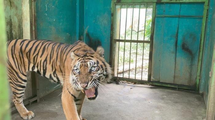 Baringin, Harimau Sumatera di Medan Zoo yang kondisinya kurus kering, Jumat (24/9/2021).(TRIBUN MEDAN/FREDY SANTOSO) (TRIBUN MEDAN/FREDY SANTOSO)