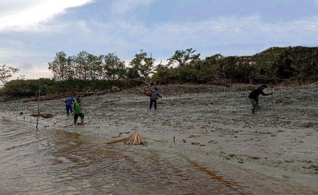 Kapok Tebang Pohon Secara Liar, Warga Kini Bergotong Royong Tanam Mangrove