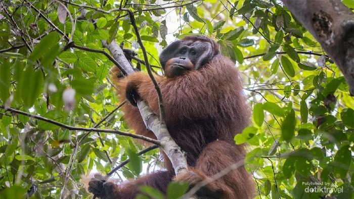 Foto ilustrasi orang utan. (detikcom)