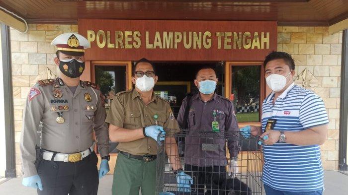 Polres Lampung Tengah Serahkan Satwa Dilindungi ke BKSDA. tribun lampung/ Syamsir Alam